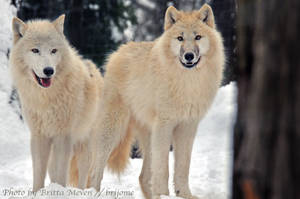 Arctic wolf 1 by brijome