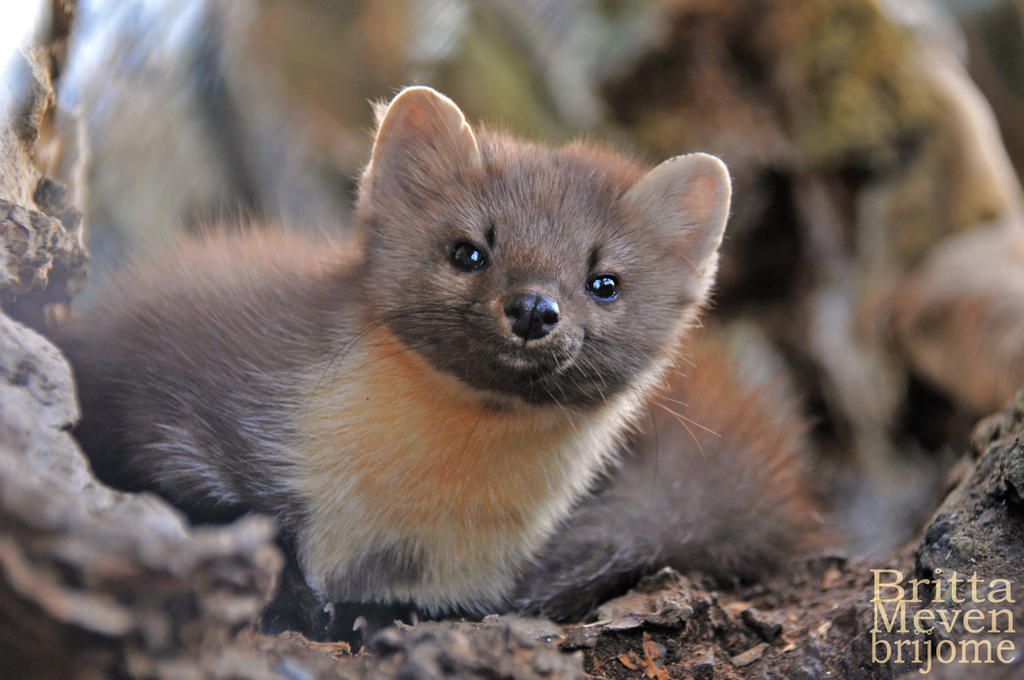 Noble-Marten by brijome