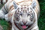 White Tiger Cub 3