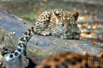 Leopard cub by brijome