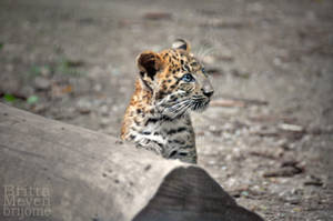 Leopard cub3 by brijome