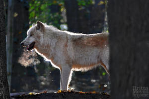 Arctic Wolf by brijome