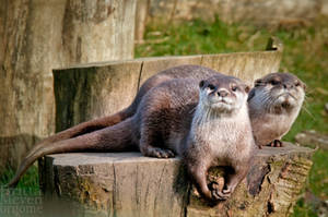Otters by brijome