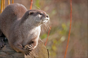 Otter2 by brijome