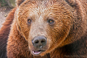 Big Brown Bear by brijome