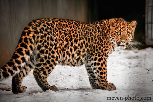 Leopardcub