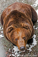 Bear by brijome