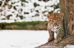 2 mounth Leopardcup