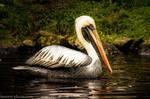 Pelican by brijome