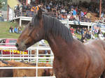 Rodeo Horse Stock 12