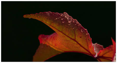 Red Leaf One by pixelpsycho