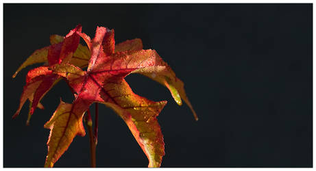 Red Leaf Two by pixelpsycho
