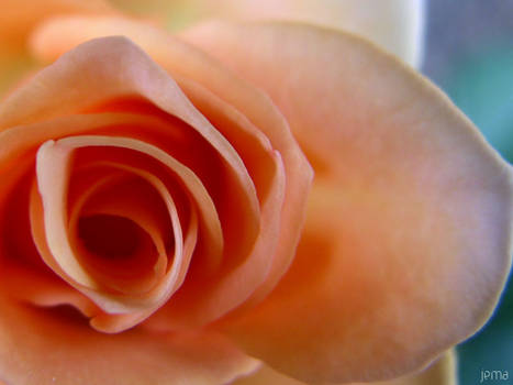 Mothers rose 1