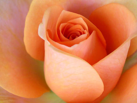 mothers rose 2