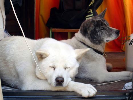 Akita dogs at the carnival