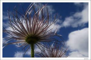 Pasque flower in colour