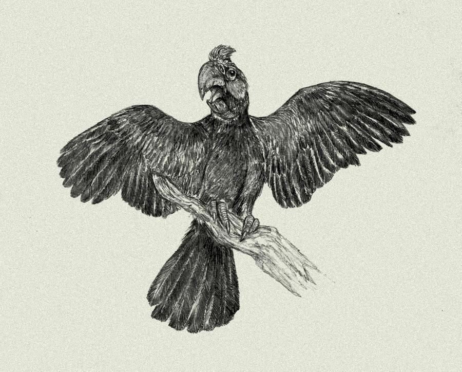 Broad -billed parrot