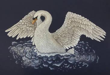 Swan Drying Wings by Shanimar