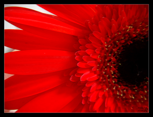 Red-black Flower by PositiveProspection