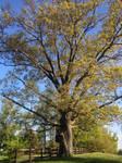 Lovettsville Tree - Summer