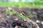 Lizard and Mantis by Legat1992