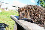 Hedgehog by Legat1992