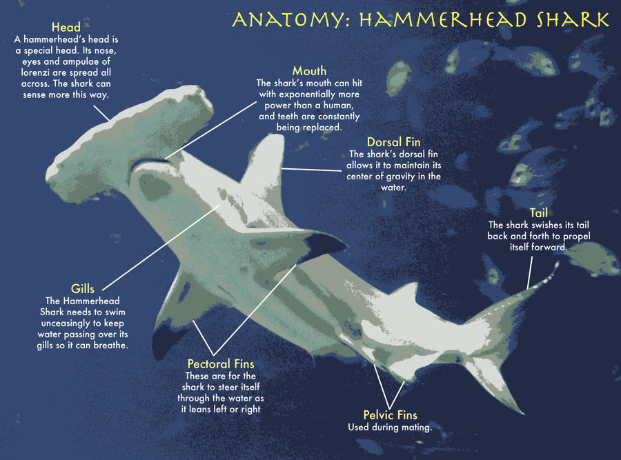Anatomy Of A Great Picture: Anatomy: Hammerhead Shark By Chipples19 On DeviantArt
