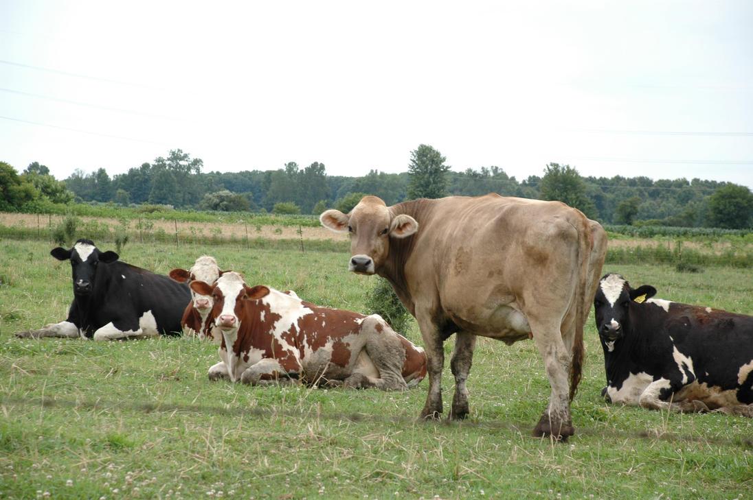 Cows Looking at ya by FictonArtAuthor