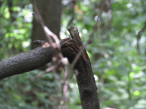 Snapped Branch