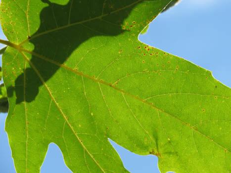 Summer Leaf shining