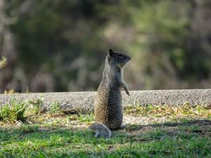 Squirrel is like a Meerkat