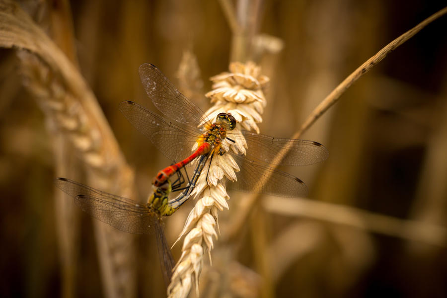 Dragonfly Love by TomZoy