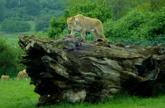 Queen of the Safari