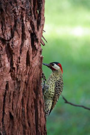 Green-barred Woodpecker by boanergesjr