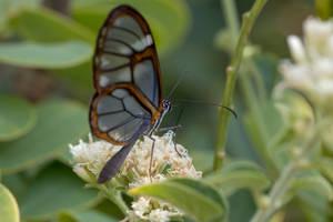 Glasswing butterfly (2) by boanergesjr