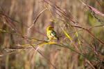 Native Canary also Saffron Finch