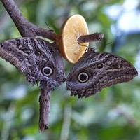 Two Owl butterflies
