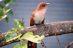 From my window: Squirrel Cuckoo 2/2