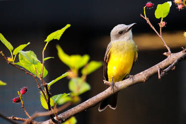 From my window: Tropical Kingbird by boanergesjr
