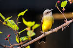 From my window: Tropical Kingbird