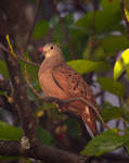 From my window:  Ruddy Ground-Dove