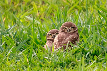 Young burrowing owls by boanergesjr