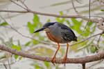 Socozinho / Striated Heron