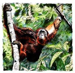 Orangutan by R0b0C