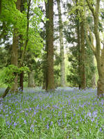 Bluebells by angel1592Stock