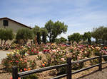 Mission Santa Ines Rose Garden