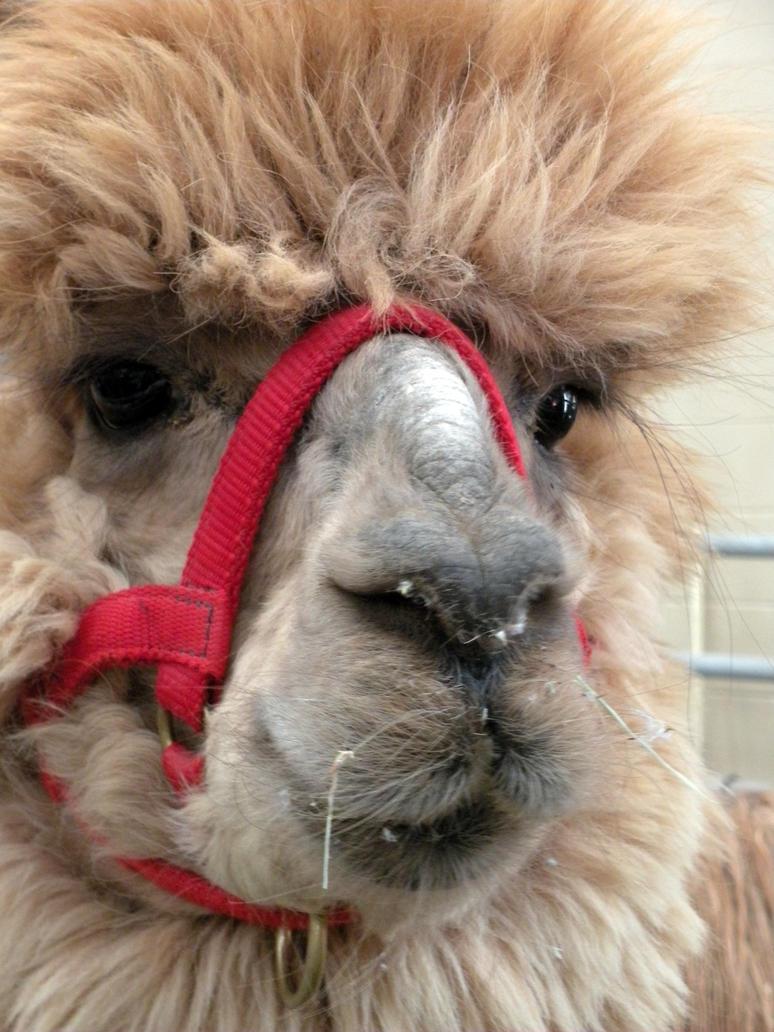 Alpaca face by fosspathei