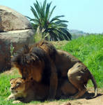 Lions mating 1