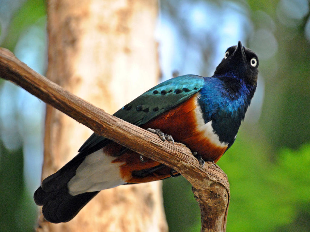 Superb starling by fosspathei