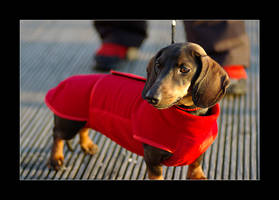 Ida, the dachshund by CerebralCortex